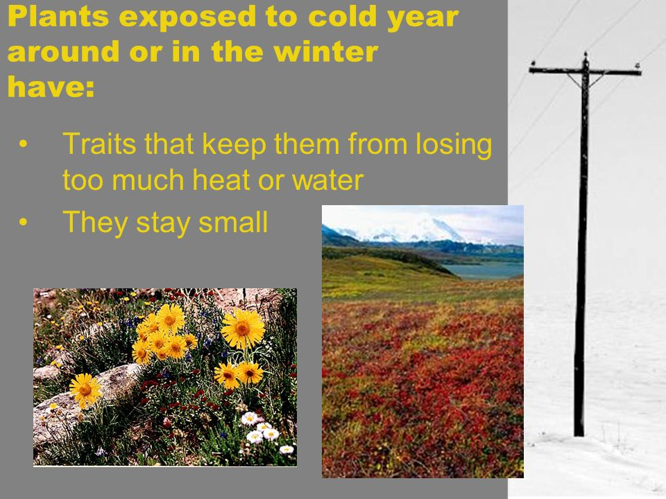 Plants exposed to cold year around or in the winter have: Traits that keep them from losing too much heat or water They stay small