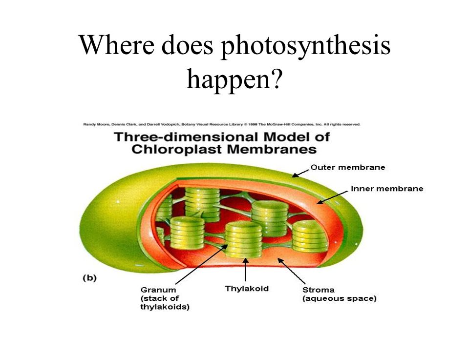 Where does photosynthesis happen?