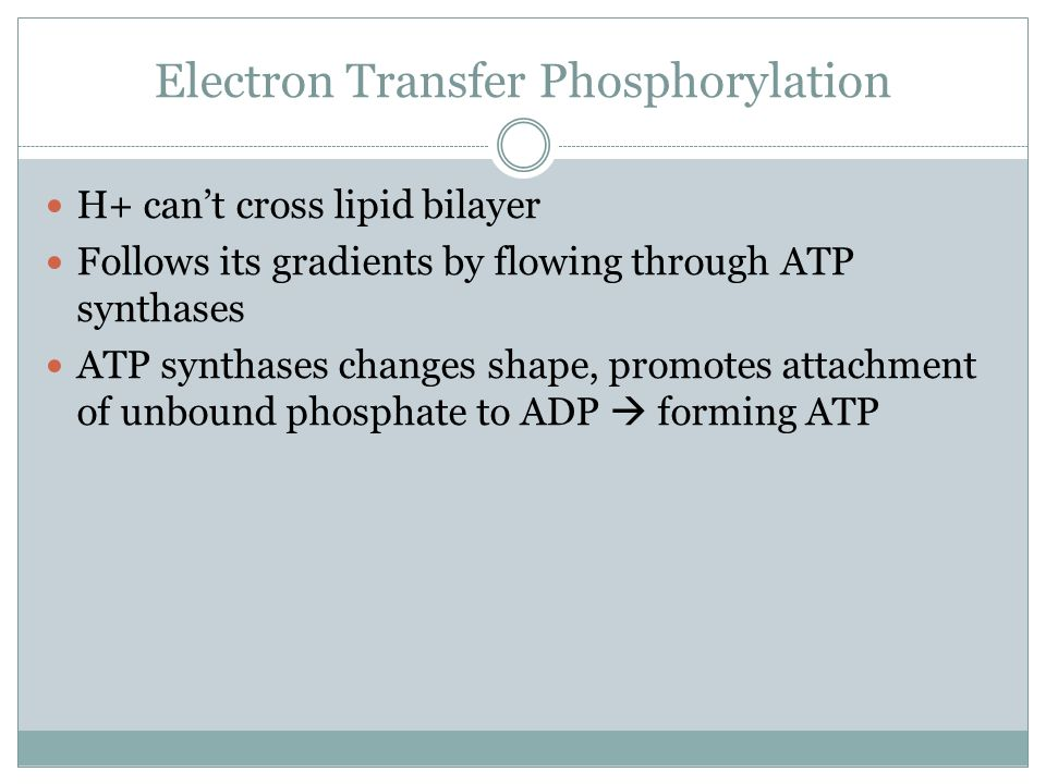Electron Transfer Phosphorylation H+ cant cross lipid bilayer Follows its gradients by flowing through ATP synthases ATP synthases changes shape, promotes attachment of unbound phosphate to ADP forming ATP