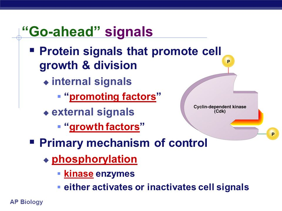 AP Biology How do cells know when to divide? cell communication signals chemical signals in cytoplasm give cue signals usually mean proteins activator