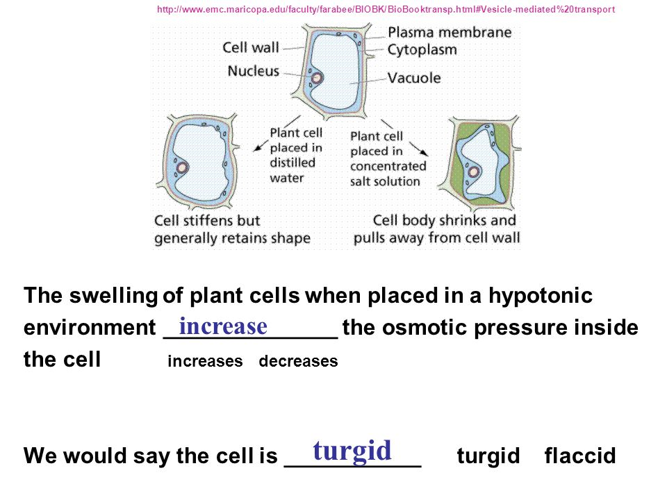 The swelling of plant cells when placed in a hypotonic environment ______________ the osmotic pressure inside the cell increases decreases We would sa