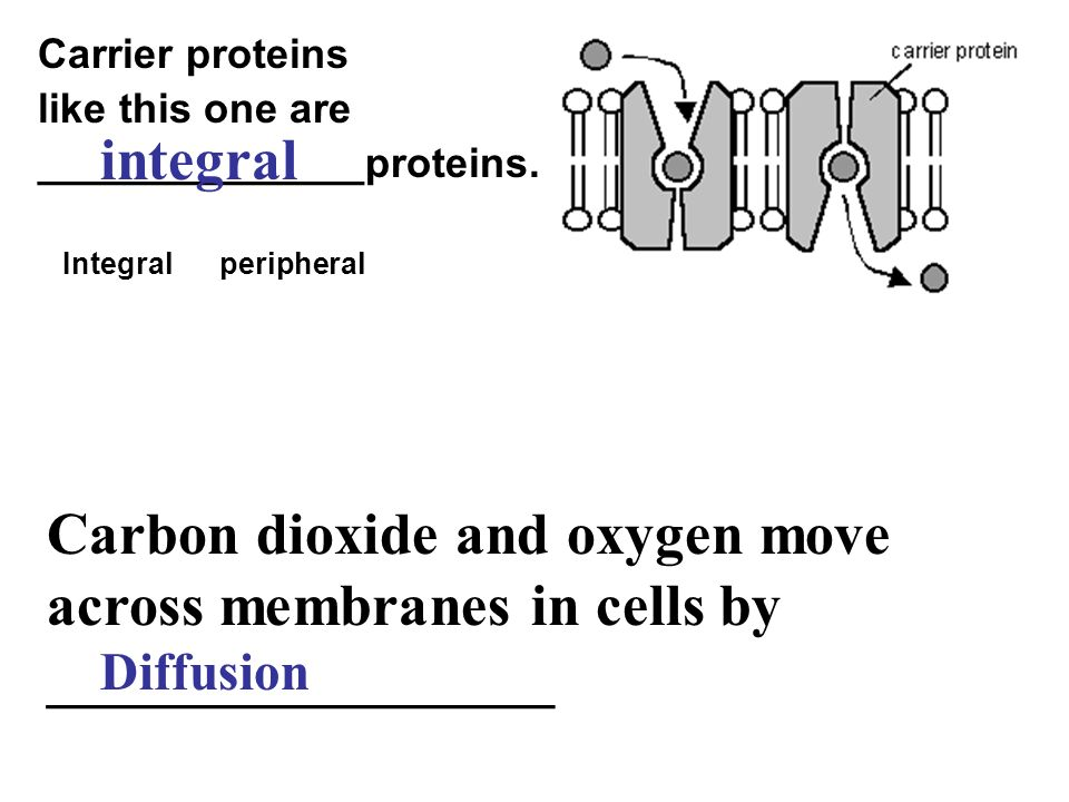 Carrier proteins like this one are ______________proteins. Integral peripheral integral Carbon dioxide and oxygen move across membranes in cells by __