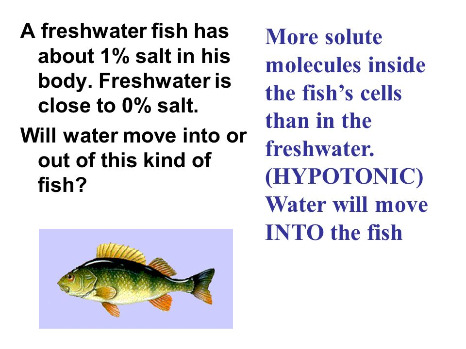 A freshwater fish has about 1% salt in his body. Freshwater is close to 0% salt. Will water move into or out of this kind of fish? More solute molecul