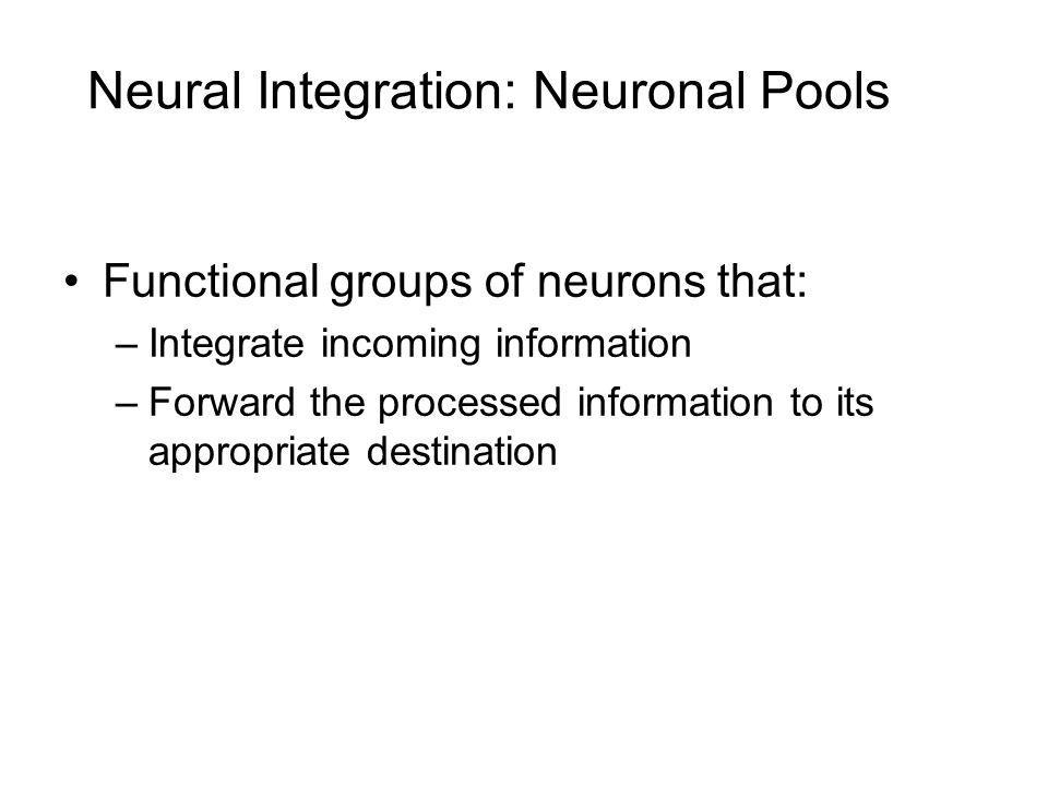 Neural Integration: Neuronal Pools Functional groups of neurons that: –Integrate incoming information –Forward the processed information to its approp