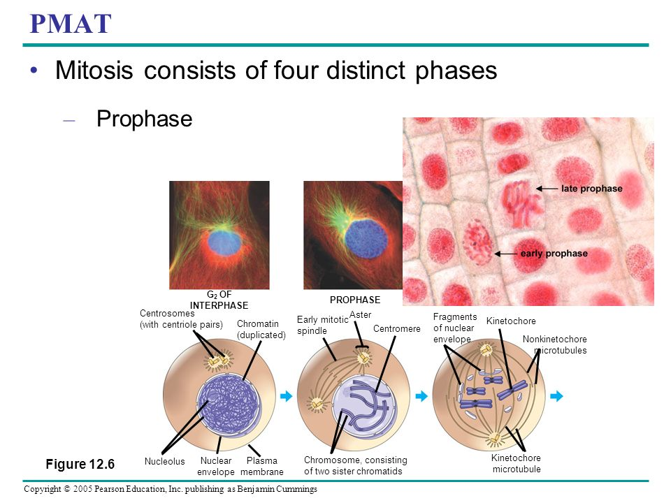 Copyright © 2005 Pearson Education, Inc. publishing as Benjamin Cummings PMAT Mitosis consists of four distinct phases – Prophase G 2 OF INTERPHASE PR