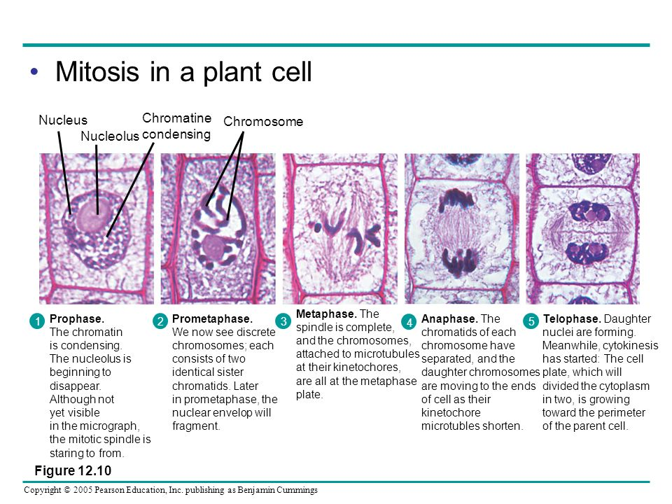 Copyright © 2005 Pearson Education, Inc. publishing as Benjamin Cummings Mitosis in a plant cell 1 Prophase. The chromatin is condensing. The nucleolu