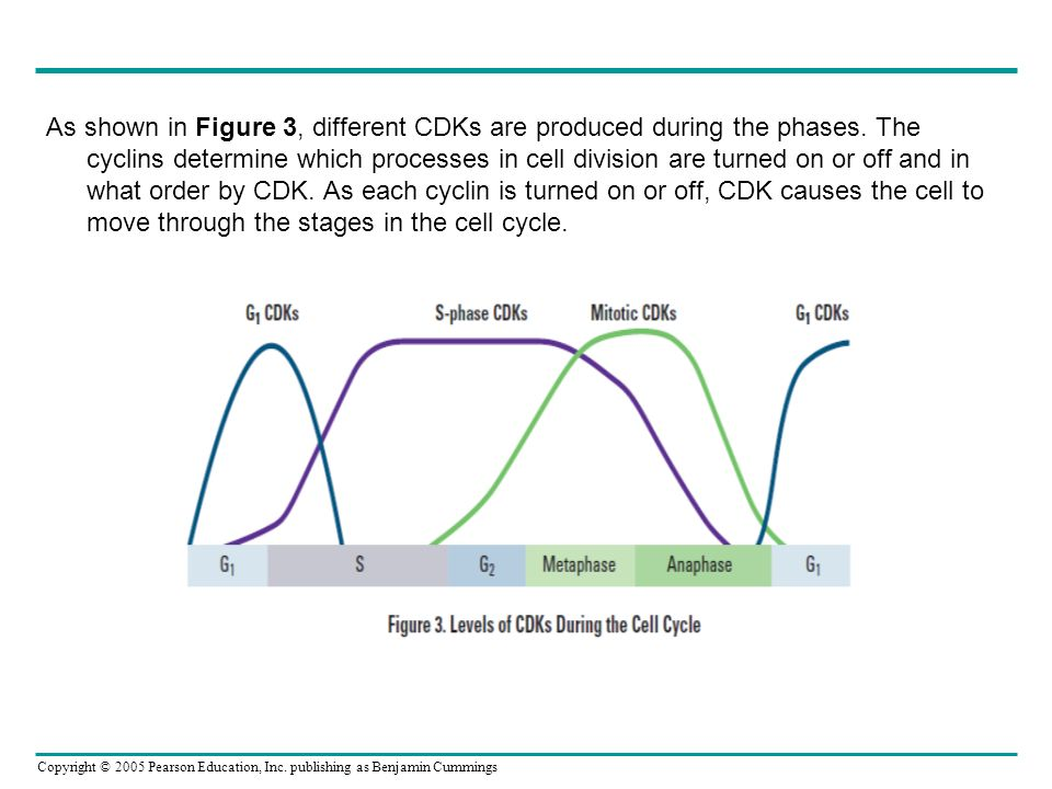 Copyright © 2005 Pearson Education, Inc. publishing as Benjamin Cummings As shown in Figure 3, different CDKs are produced during the phases. The cycl
