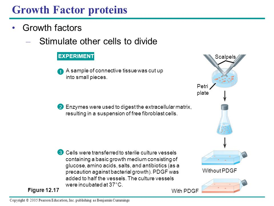 Copyright © 2005 Pearson Education, Inc. publishing as Benjamin Cummings Growth Factor proteins Growth factors – Stimulate other cells to divide EXPER