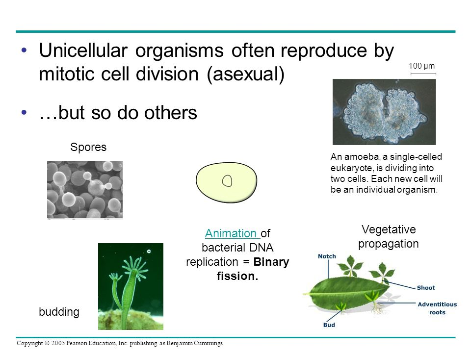 Copyright © 2005 Pearson Education, Inc. publishing as Benjamin Cummings Unicellular organisms often reproduce by mitotic cell division (asexual) …but