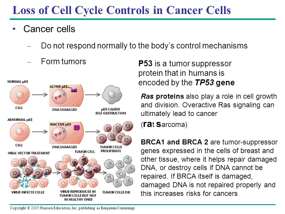 Copyright © 2005 Pearson Education, Inc. publishing as Benjamin Cummings Loss of Cell Cycle Controls in Cancer Cells Cancer cells – Do not respond nor