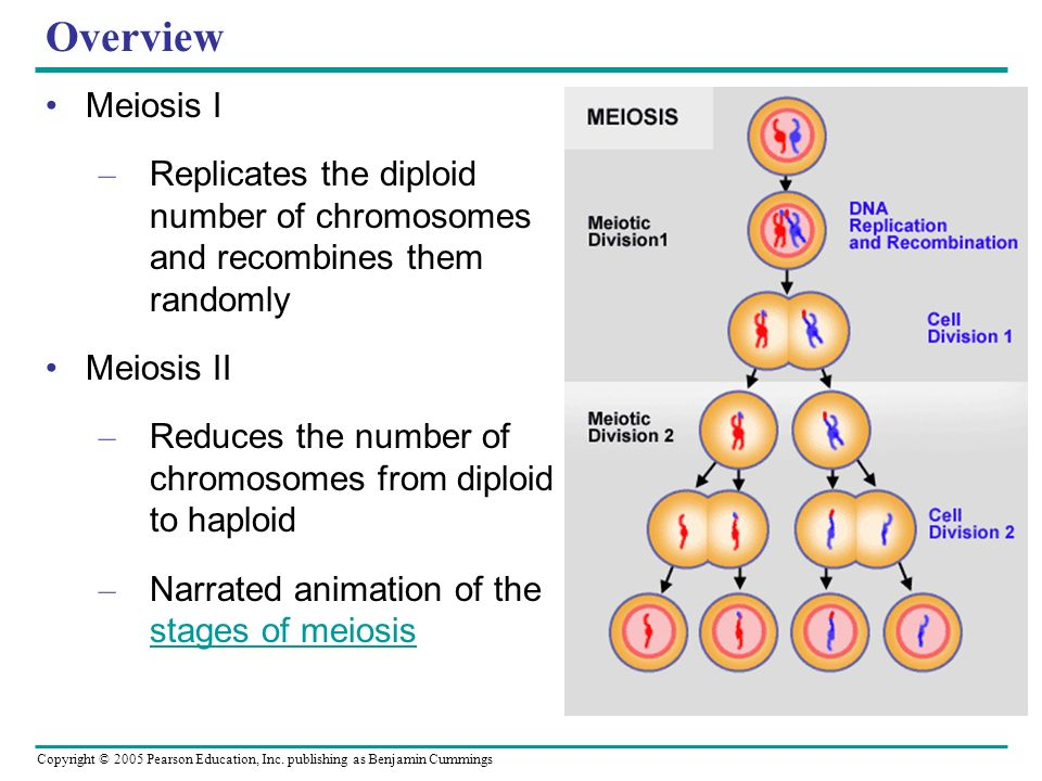 Copyright © 2005 Pearson Education, Inc. publishing as Benjamin Cummings Overview Meiosis I – Replicates the diploid number of chromosomes and recombi