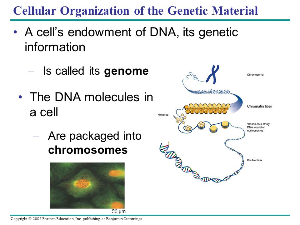 Copyright © 2005 Pearson Education, Inc. publishing as Benjamin Cummings Cellular Organization of the Genetic Material A cells endowment of DNA, its g