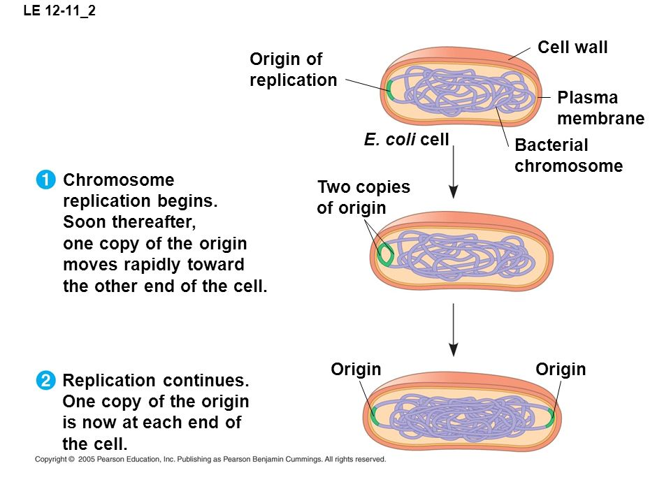 LE 12-11_2 Origin of replication Cell wall Plasma membrane Bacterial chromosome E. coli cell Two copies of origin Chromosome replication begins. Soon