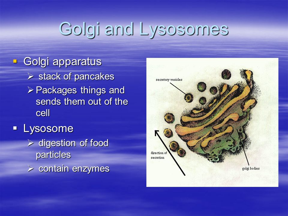 Golgi and Lysosomes Golgi apparatus Golgi apparatus stack of pancakes stack of pancakes Packages things and sends them out of the cell Packages things and sends them out of the cell Lysosome Lysosome digestion of food particles digestion of food particles contain enzymes contain enzymes