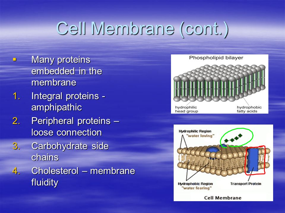 Cell Membrane (cont.) Many proteins embedded in the membrane Many proteins embedded in the membrane 1.Integral proteins - amphipathic 2.Peripheral proteins – loose connection 3.Carbohydrate side chains 4.Cholesterol – membrane fluidity