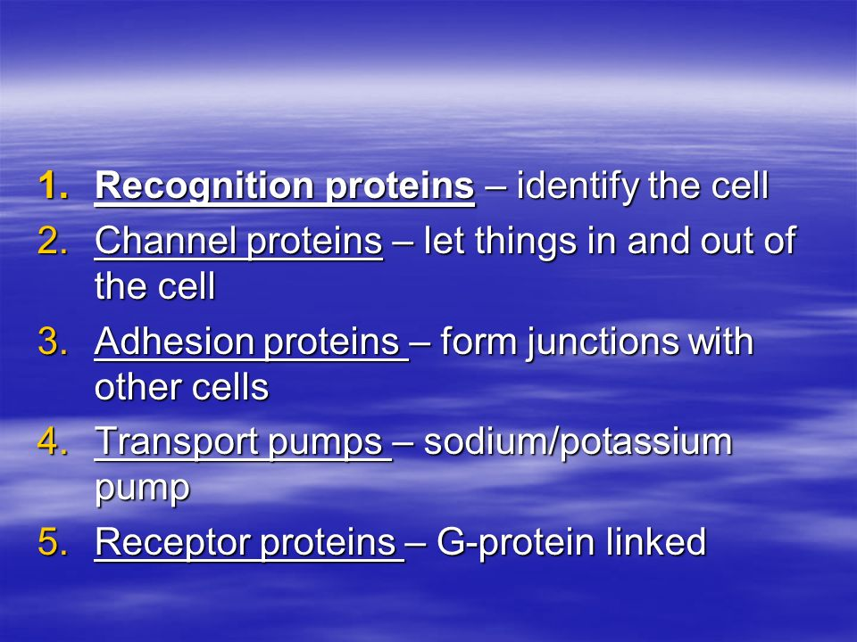 1.Recognition proteins – identify the cell 2.Channel proteins – let things in and out of the cell 3.Adhesion proteins – form junctions with other cell