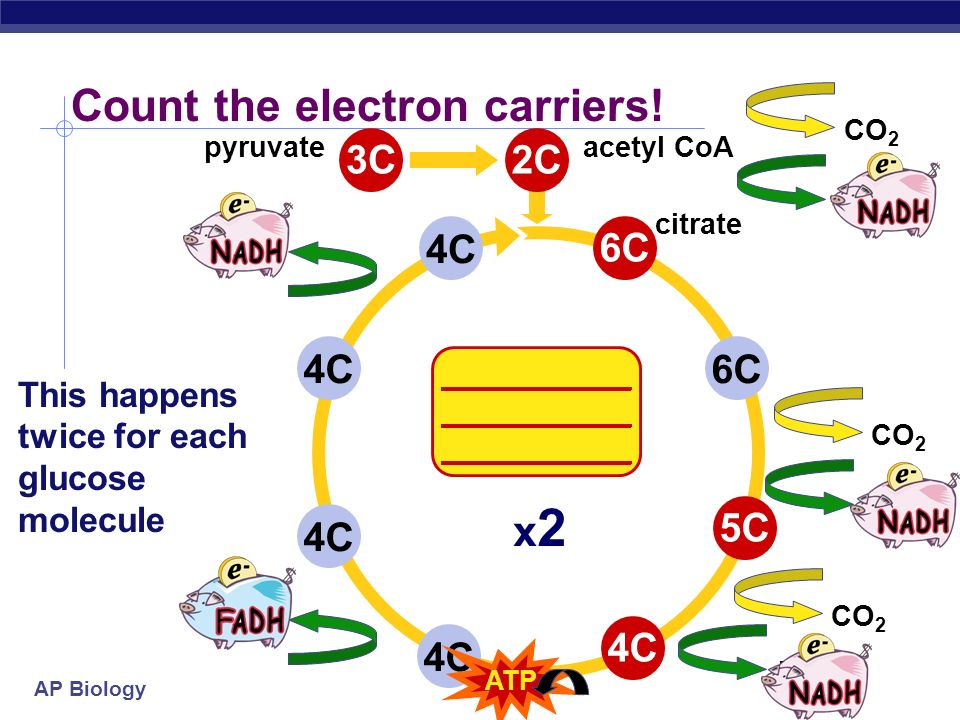 AP Biology 4C6C4C 2C6C5C4C CO 2 citrate acetyl CoA Count the carbons! 3C pyruvate x2x2 oxidation of sugars This happens twice for each glucose molecul