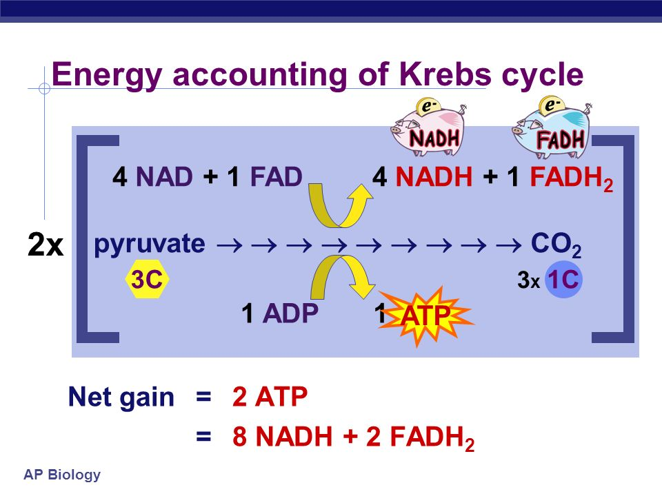 AP Biology Krebs cycle produces large quantities of _______________ ____________ go to Electron Transport Chain! Electron Carriers = Hydrogen Carriers