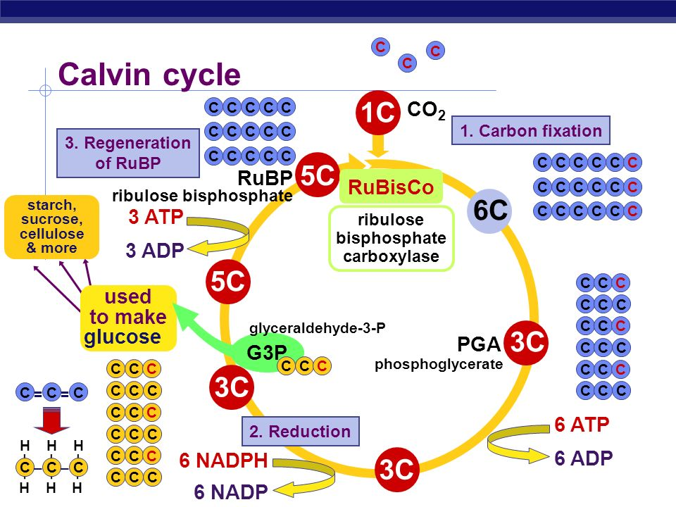 AP Biology From Light reactions to Calvin cycle Calvin cycle chloroplast stroma Need products of light reactions to drive synthesis reactions ATP NADP
