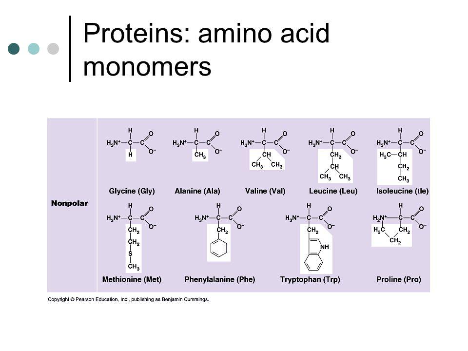 Proteins: amino acid monomers