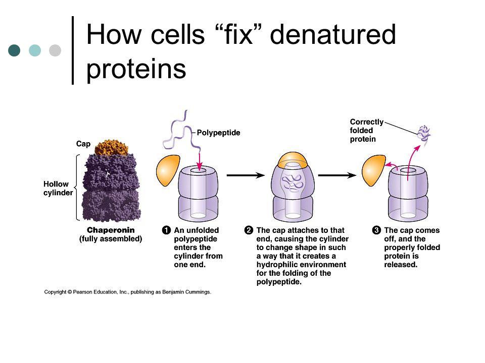 How cells fix denatured proteins