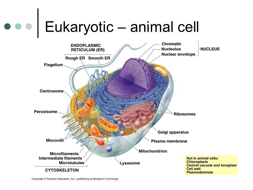 Eukaryotic – animal cell