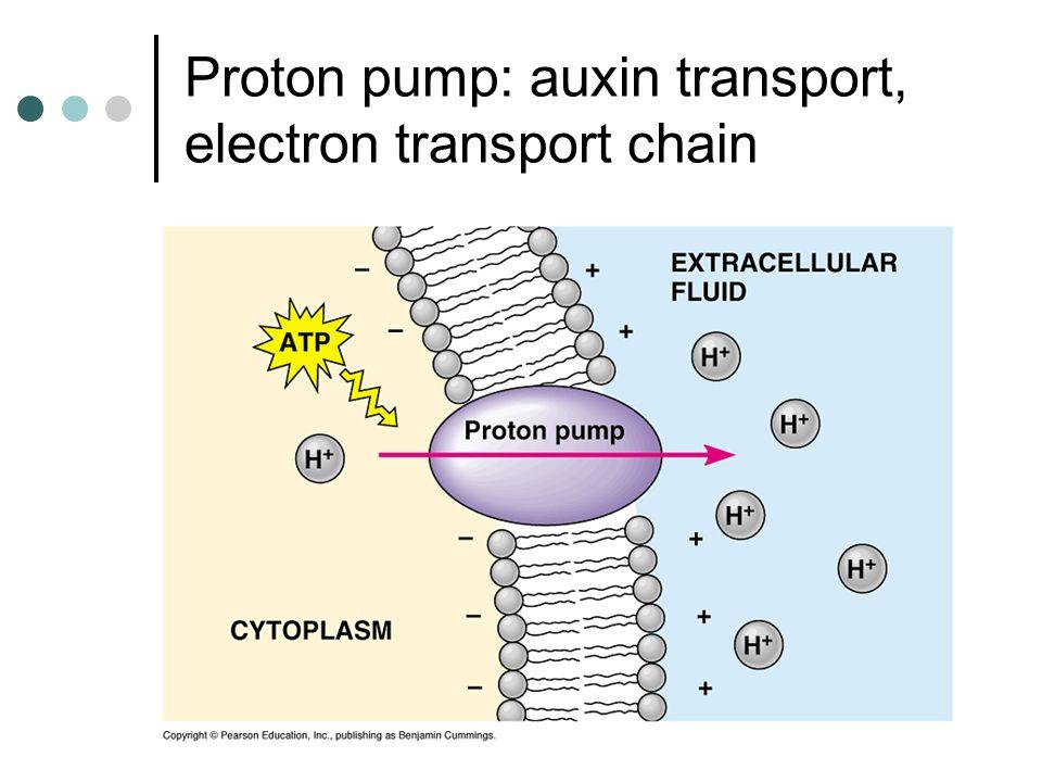 Proton pump: auxin transport, electron transport chain
