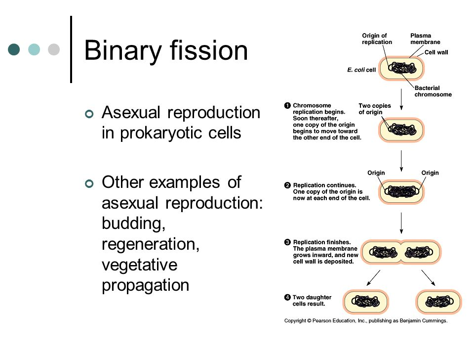 Binary fission Asexual reproduction in prokaryotic cells Other examples of asexual reproduction: budding, regeneration, vegetative propagation
