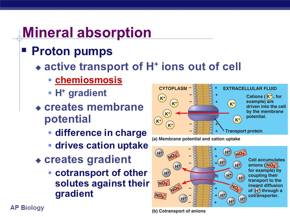 AP Biology Water & mineral absorption Water absorption from soil osmosis aquaporins Mineral absorption active transport proton pumps active transport