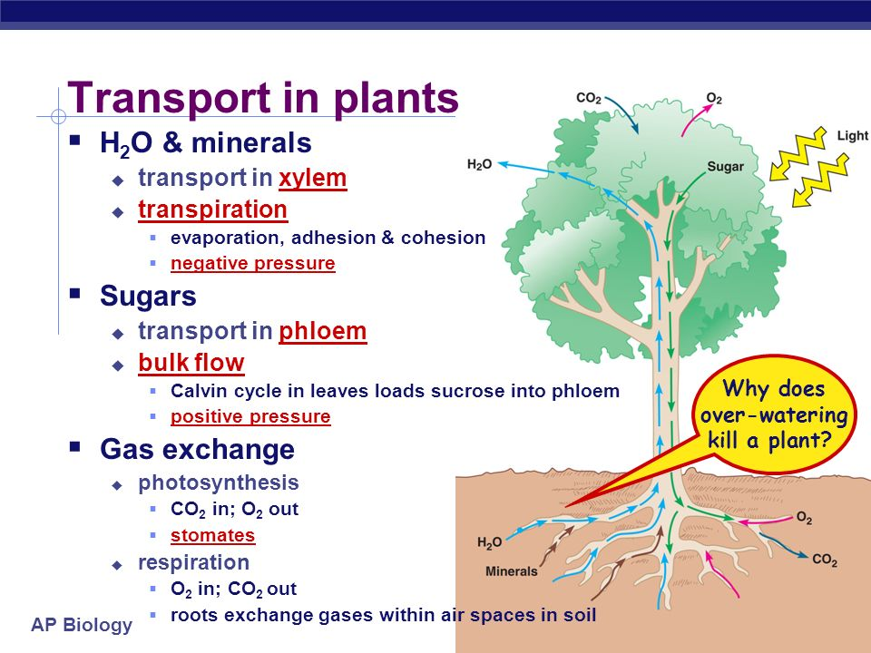 AP Biology Plant Evolution Algal ancestors absorbed minerals and CO 2 directly from water Early nonvascular land plants lived in shallow water and had