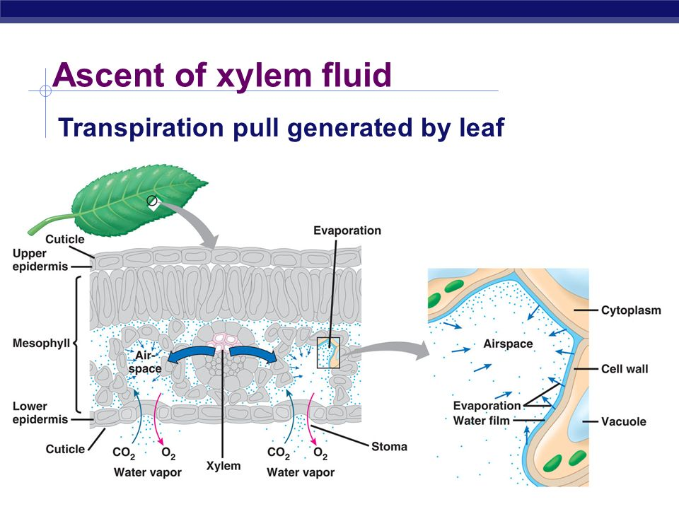AP Biology Transport in plants H 2 O & minerals transport in xylem transpiration evaporation, adhesion & cohesion negative pressure Sugars transport i