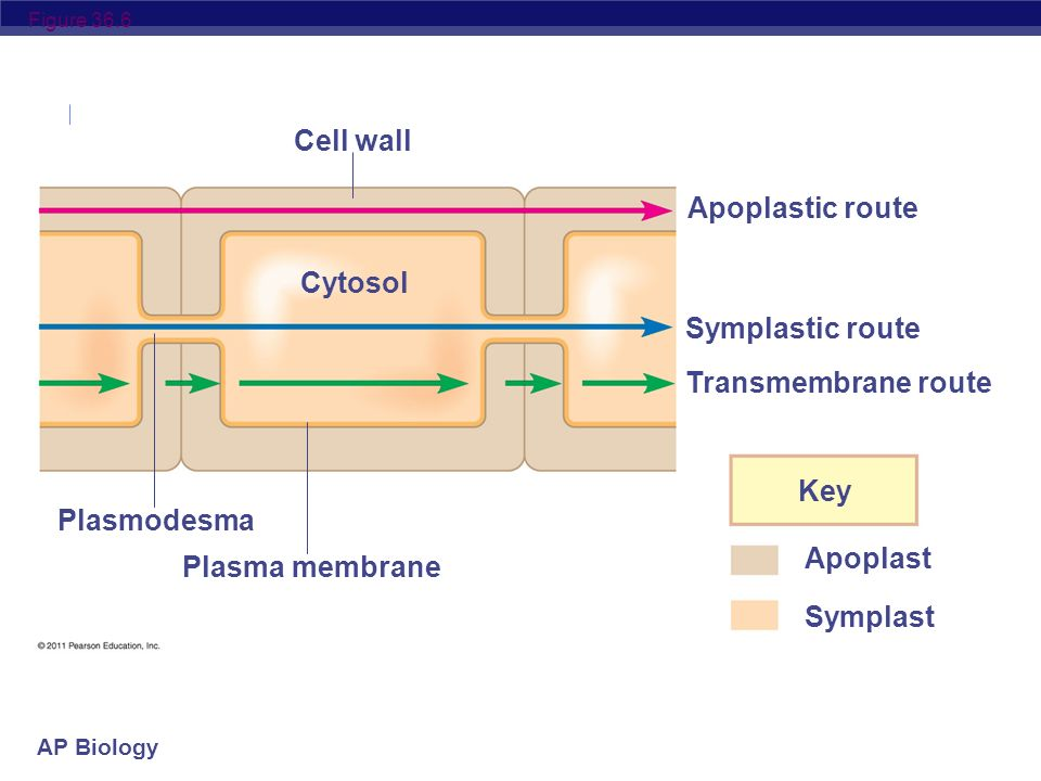 AP Biology Apoplast & Symplast The apoplast consists of everything external to the plasma membrane cell walls, extracellular spaces, and the interior