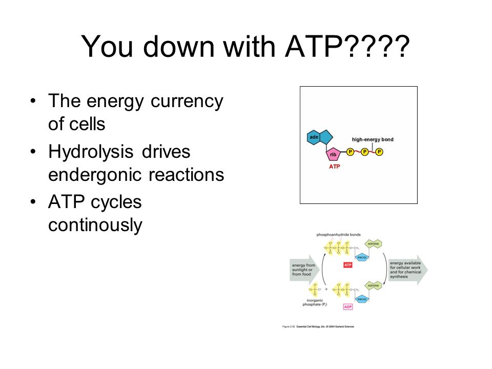 You down with ATP???? The energy currency of cells Hydrolysis drives endergonic reactions ATP cycles continously