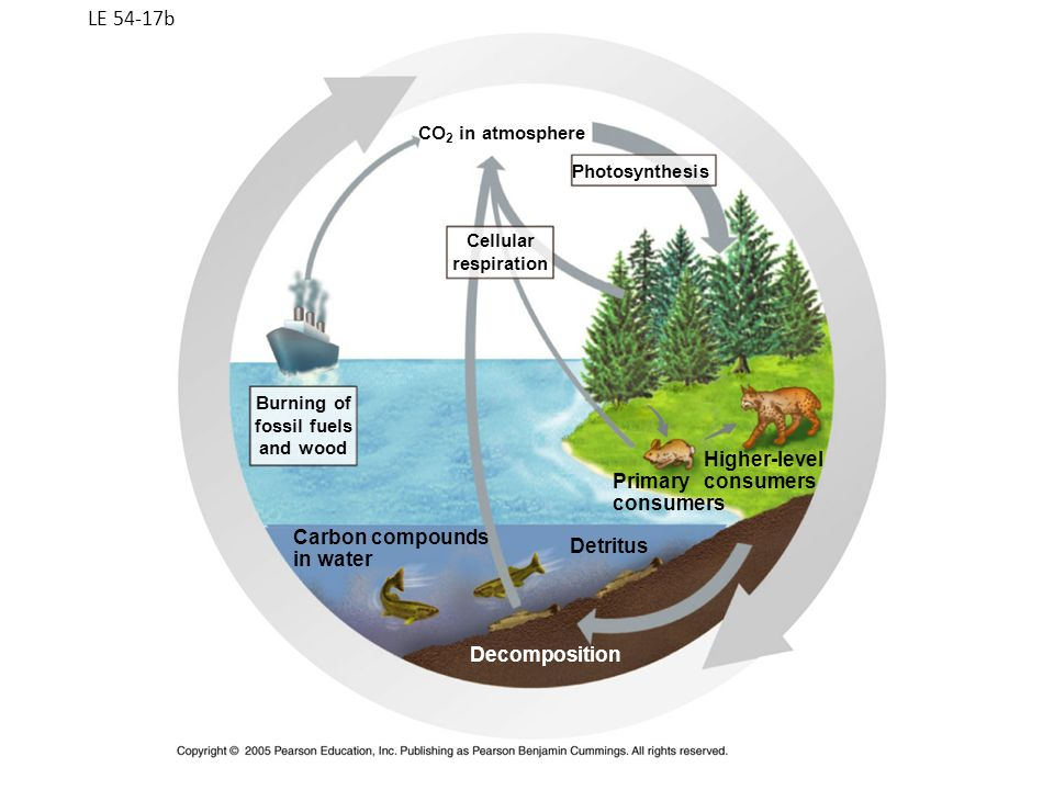 LE 54-17b Cellular respiration Burning of fossil fuels and wood Carbon compounds in water Photosynthesis Primary consumers Higher-level consumers Detr
