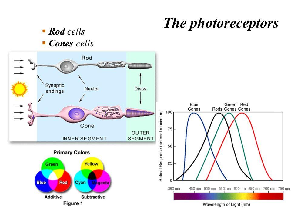 Rod cells Cones cells The photoreceptors