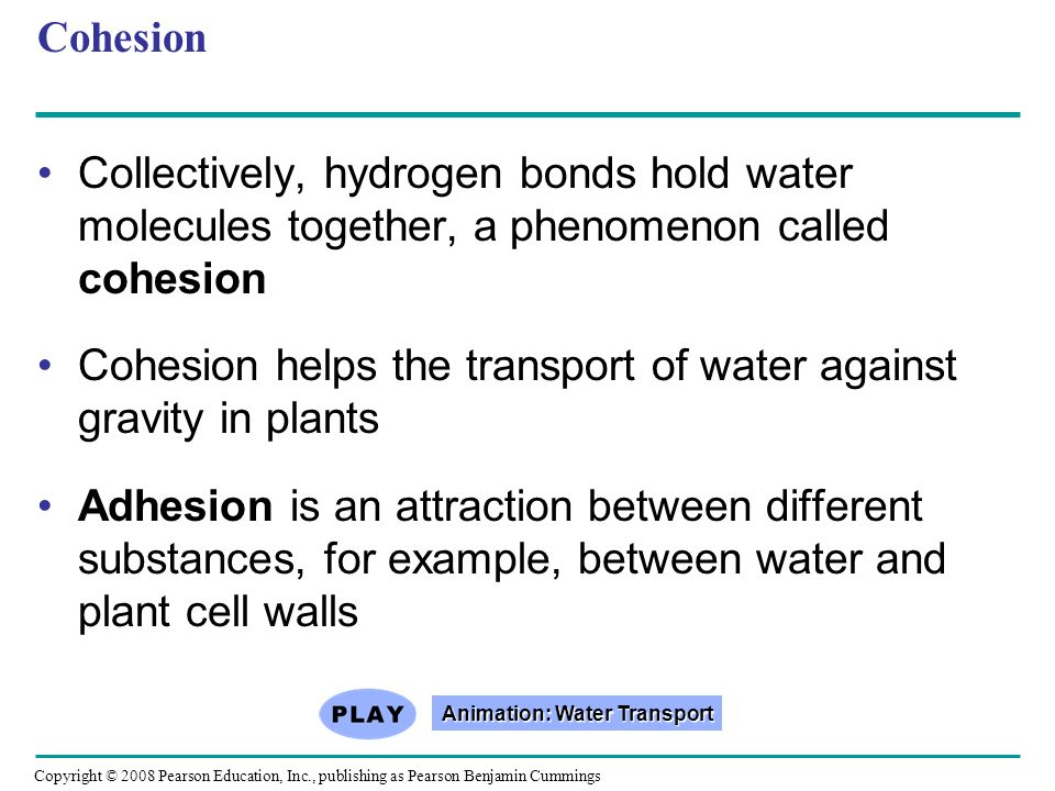 Cohesion Collectively, hydrogen bonds hold water molecules together, a phenomenon called cohesion Cohesion helps the transport of water against gravit