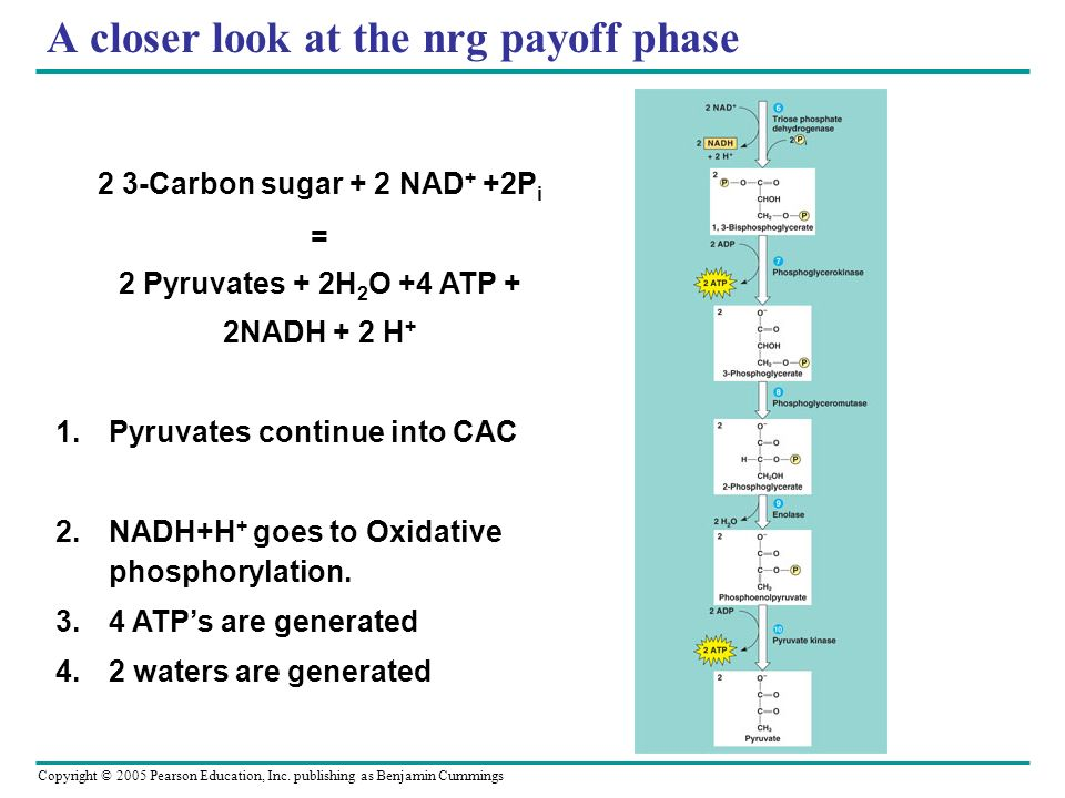 Copyright © 2005 Pearson Education, Inc. publishing as Benjamin Cummings A closer look at the nrg payoff phase 2 3-Carbon sugar + 2 NAD + +2P i = 2 Py