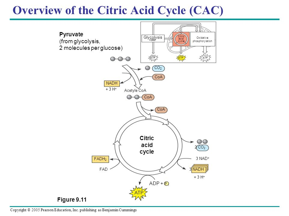Overview of the Citric Acid Cycle (CAC) ATP 2 CO 2 3 NAD + 3 NADH + 3 H + ADP + P i FAD FADH 2 Citric acid cycle CoA Acetyle CoA NADH + 3 H + CoA CO 2