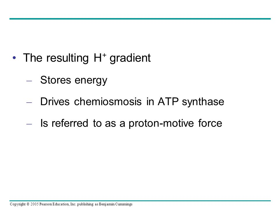 Copyright © 2005 Pearson Education, Inc. publishing as Benjamin Cummings The resulting H + gradient – Stores energy – Drives chemiosmosis in ATP synth