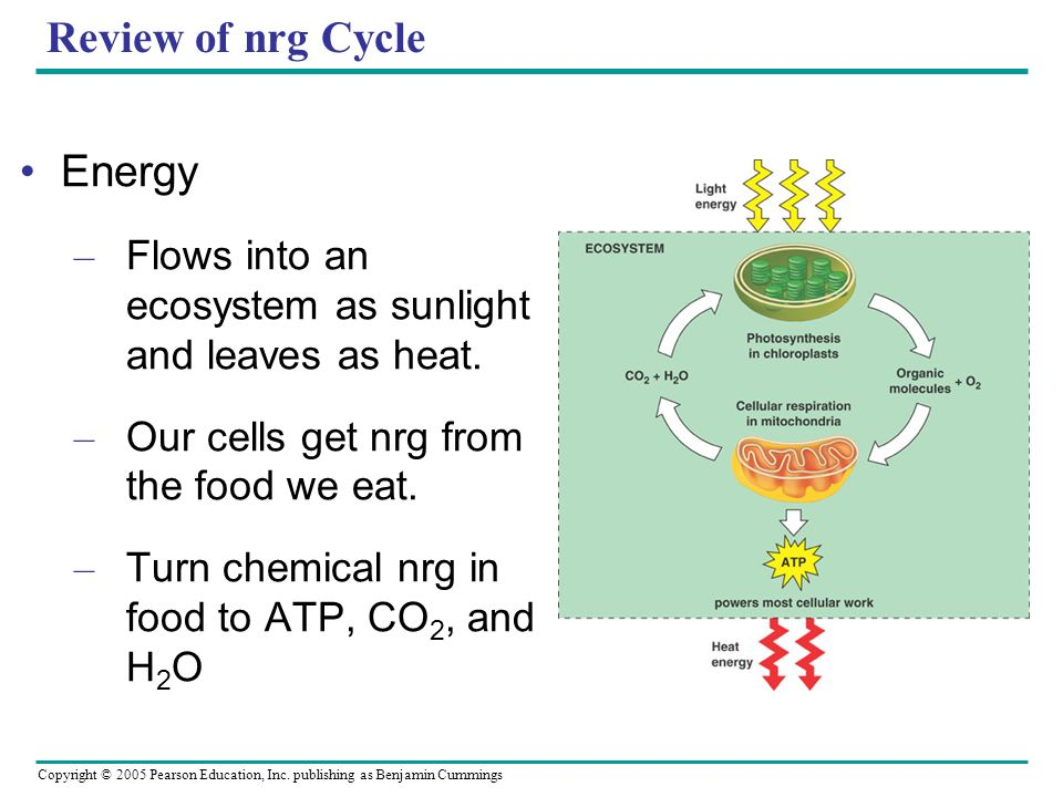 Copyright © 2005 Pearson Education, Inc. publishing as Benjamin Cummings Review of nrg Cycle Energy – Flows into an ecosystem as sunlight and leaves a