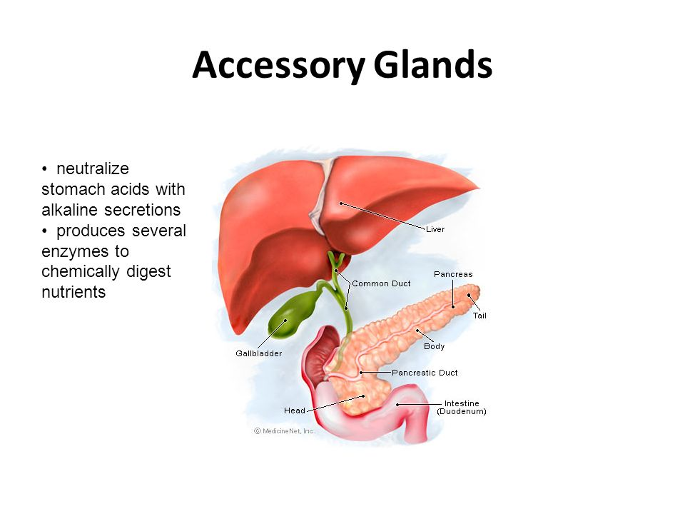 Accessory Glands neutralize stomach acids with alkaline secretions produces several enzymes to chemically digest nutrients