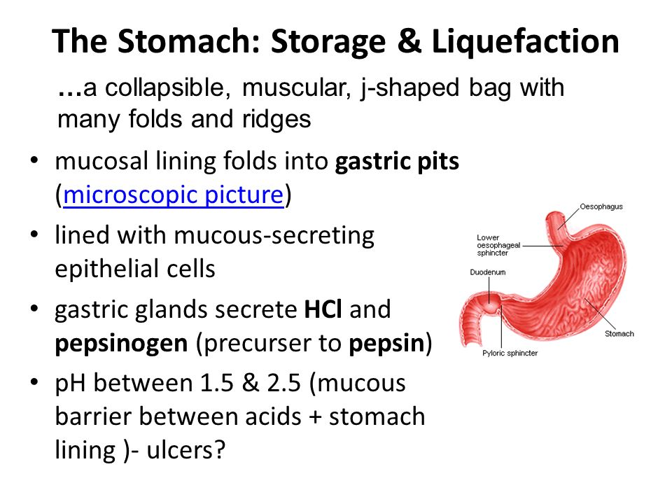 The Stomach: Storage & Liquefaction mucosal lining folds into gastric pits (microscopic picture)microscopic picture lined with mucous-secreting epithelial cells gastric glands secrete HCl and pepsinogen (precurser to pepsin) pH between 1.5 & 2.5 (mucous barrier between acids + stomach lining )- ulcers.