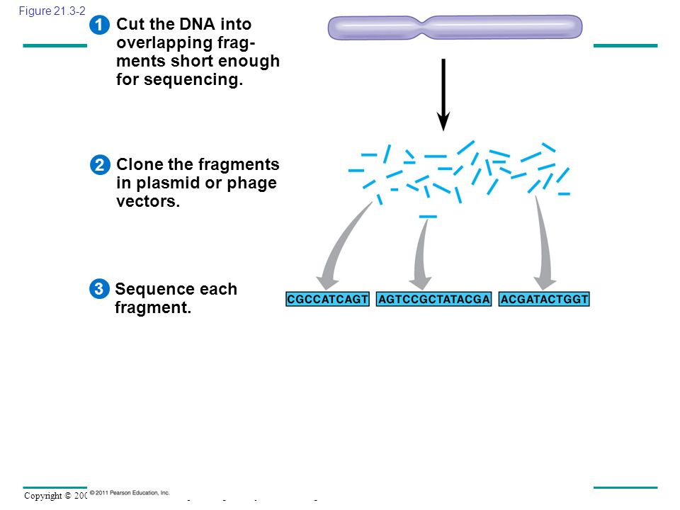 Copyright © 2005 Pearson Education, Inc. publishing as Benjamin Cummings Cut the DNA into overlapping frag- ments short enough for sequencing. 1 Clone