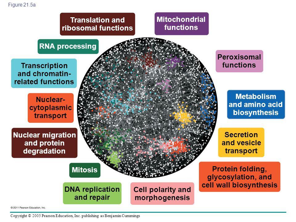 Copyright © 2005 Pearson Education, Inc. publishing as Benjamin Cummings Figure 21.5a Translation and ribosomal functions Nuclear- cytoplasmic transpo