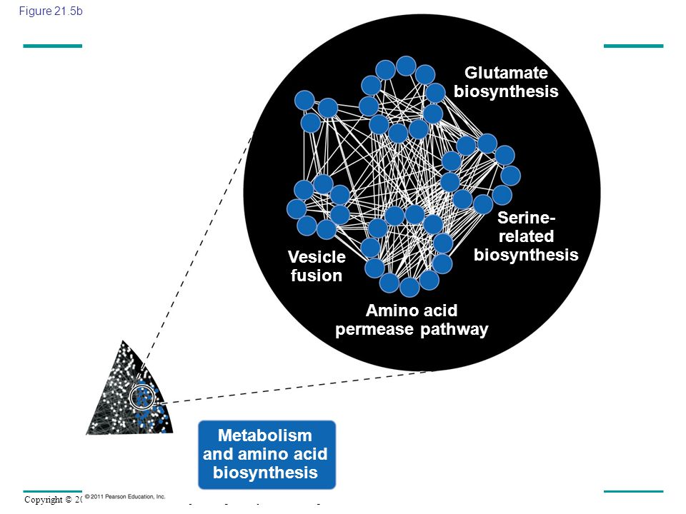 Copyright © 2005 Pearson Education, Inc. publishing as Benjamin Cummings Glutamate biosynthesis Serine- related biosynthesis Amino acid permease pathw