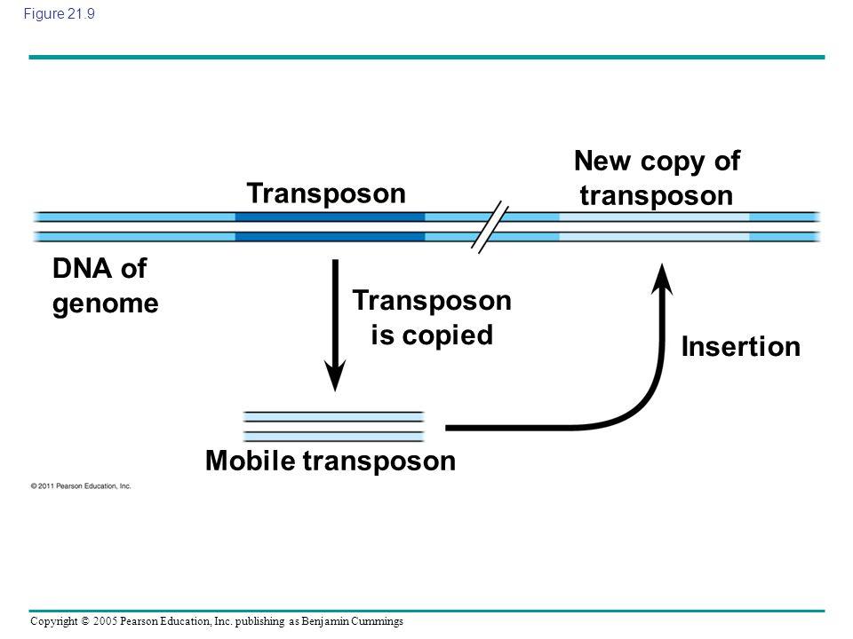 Copyright © 2005 Pearson Education, Inc. publishing as Benjamin Cummings Figure 21.9 Transposon Transposon is copied DNA of genome Mobile transposon I