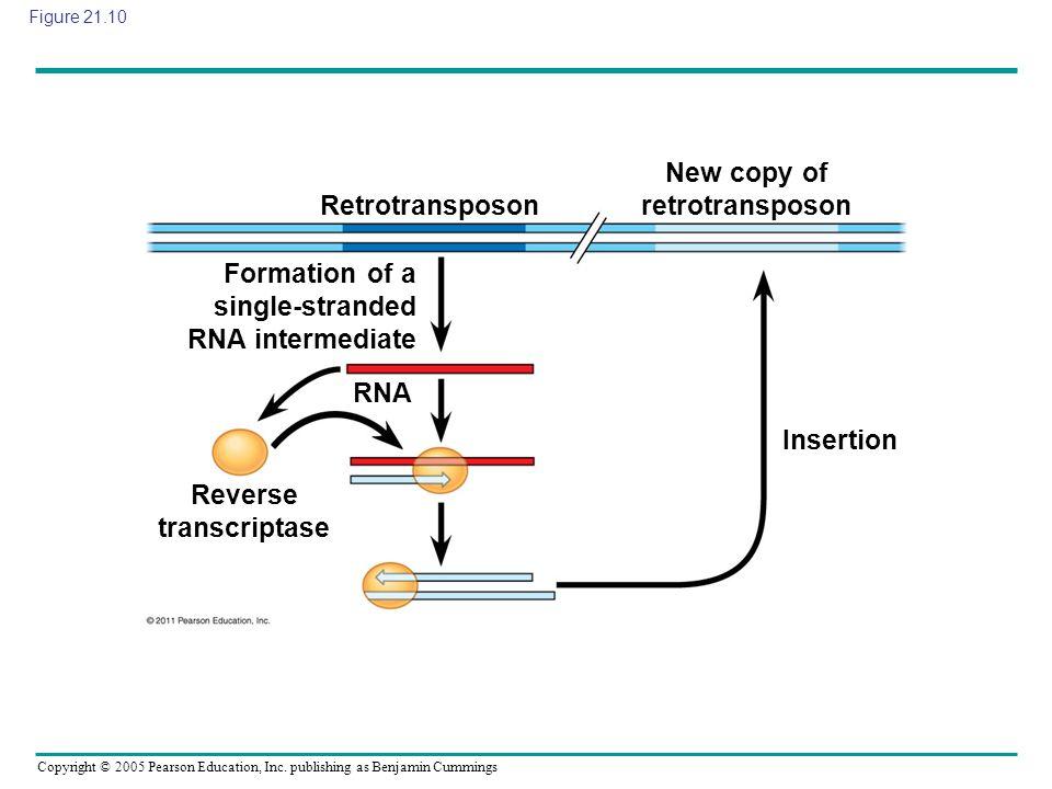 Copyright © 2005 Pearson Education, Inc. publishing as Benjamin Cummings Figure 21.10 Retrotransposon New copy of retrotransposon Insertion Reverse tr