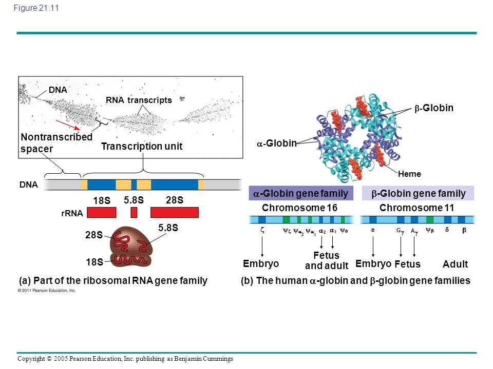 Copyright © 2005 Pearson Education, Inc. publishing as Benjamin Cummings Figure 21.11 DNA RNA transcripts Nontranscribed spacer Transcription unit DNA