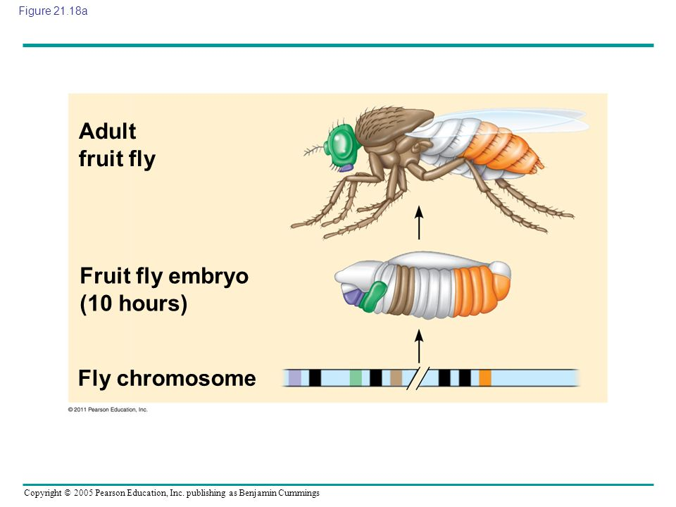 Copyright © 2005 Pearson Education, Inc. publishing as Benjamin Cummings Figure 21.18a Adult fruit fly Fruit fly embryo (10 hours) Fly chromosome