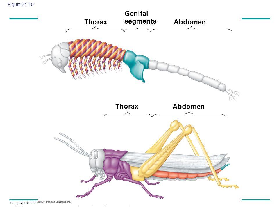 Copyright © 2005 Pearson Education, Inc. publishing as Benjamin Cummings Figure 21.19 ThoraxAbdomen Genital segments Thorax Abdomen